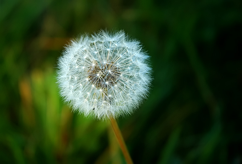 Blowball || Pusteblume