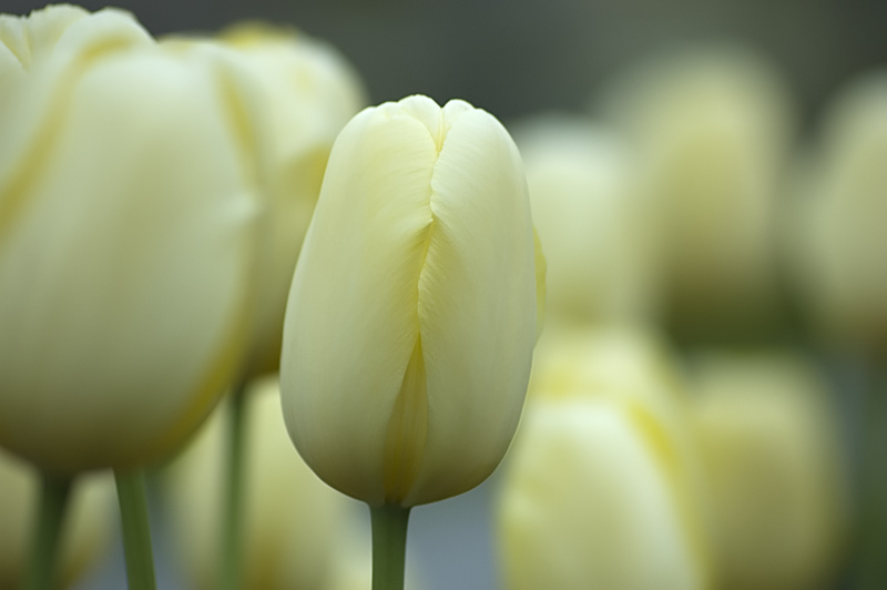 Tulips || Tulpen