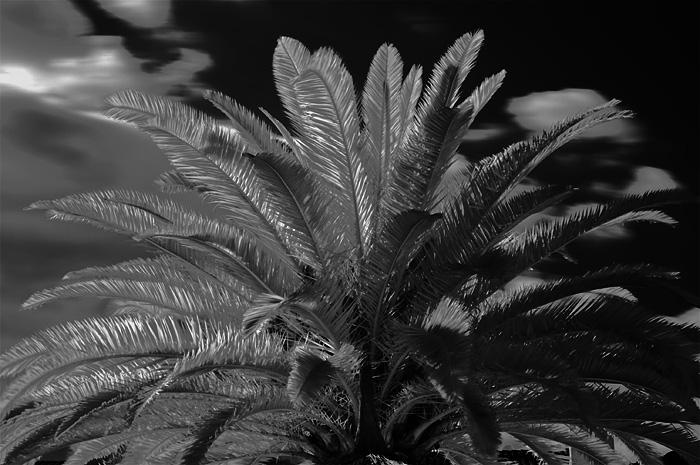 Palm IR || Palme IR
