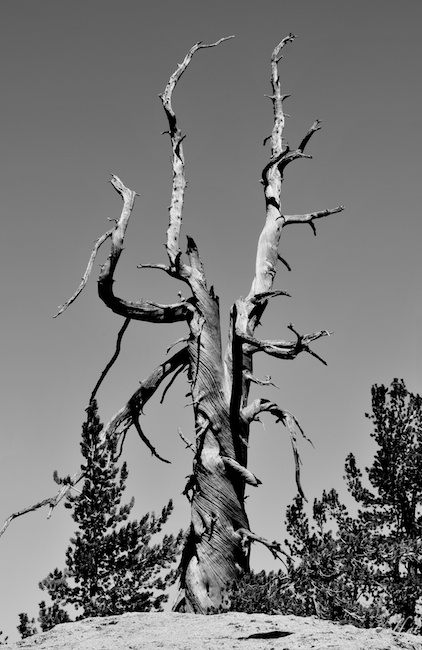 Dead Tree - Mount San Jacinto, Palm Springs, CA